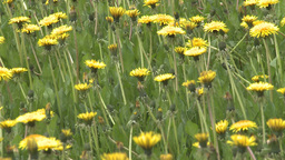 HD2008-6-1-10 dandelions Footage