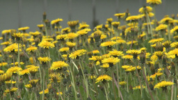 HD2008-6-1-12 dandelions Stock Video Footage