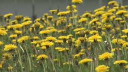 HD2008-6-1-12 dandelions Footage