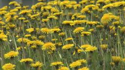 HD2008-6-1-12 dandelions Stock Video Footage