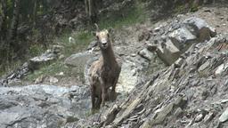 HD2008-6-2-28 mtn sheep Stock Video Footage