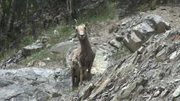 HD2008-6-2-28 mtn sheep Footage