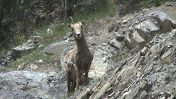HD2008-6-2-28 mtn sheep Stock Video Footage