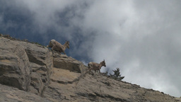 HD2008-6-2-30 mtn sheep Stock Video Footage