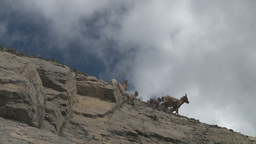 HD2008-6-2-30 mtn sheep Footage