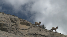 HD2008-6-2-30 mtn sheep Stock Video Footage