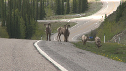 HD2008-6-3-23 mtn sheep on road Footage