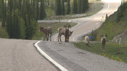 HD2008-6-3-23 mtn sheep on road Stock Video Footage