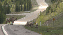 HD2008-6-3-25 mtn sheep on road Stock Video Footage