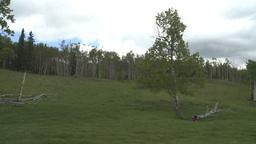 HD2008-6-3-63 aspen woods big tree Stock Video Footage