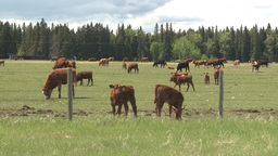 HD2008-6-4-3 cattle ranch Stock Video Footage