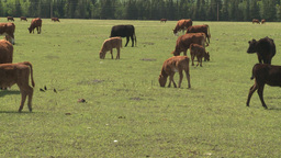 HD2008-6-4-5 cattle ranch Stock Video Footage