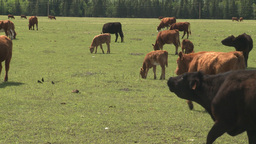 HD2008-6-4-5 cattle ranch Footage