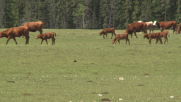 HD2008-6-4-7 cattle ranch Stock Video Footage
