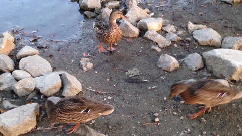 Duck swimming and finding foods near lake Stock Video Footage