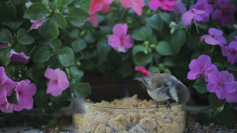 chickadee eats mealworm with flower background Footage