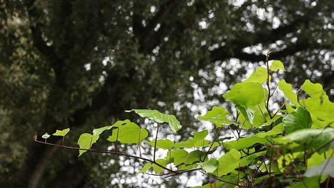 ivy with an oak tree background Footage