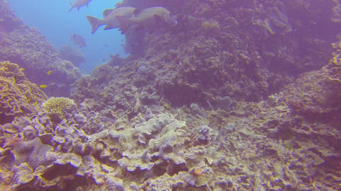 group of wrasse fish swimming by a huge reef Stock Video Footage