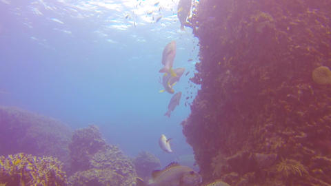 group of wrasse fish swimming by a huge reef Footage