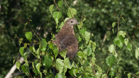 Honey buzzard , Pernis apivorus Live Action