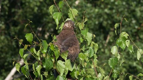 Honey buzzard , Pernis apivorus Stock Video Footage