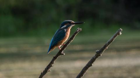 Kingfisher 2 Footage