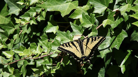 Swallowtail Butterfly On Ivy stock footage