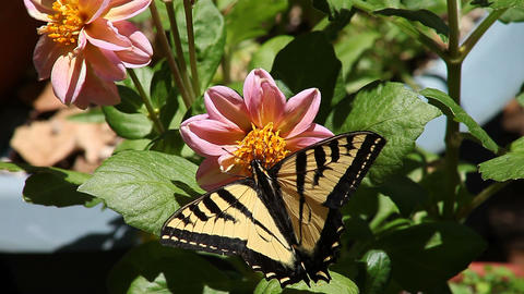 butterfly on a flower Footage