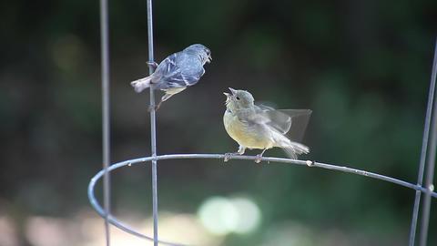 mother bird feeds baby Footage