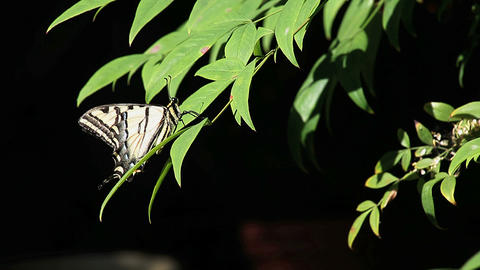 swallowtail butterfly Stock Video Footage