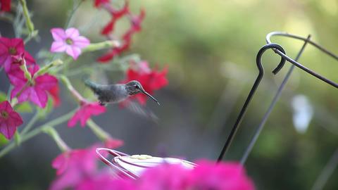 hummingbird among flowers Footage
