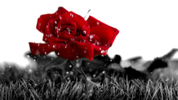 Red rose falling on a grey ground Stock Video Footage