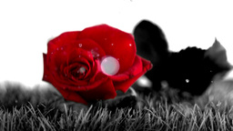 Red rose falling on a grey ground Footage