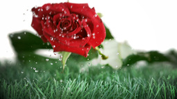 Red rose falling and bouncing on a green ground Stock Video Footage