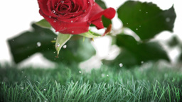 Red rose falling and bouncing on a green ground Footage