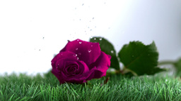 Pink rose falling and bouncing on a green ground Footage