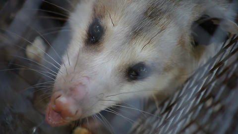 possum close up Live Action