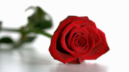 Red rose falling Footage