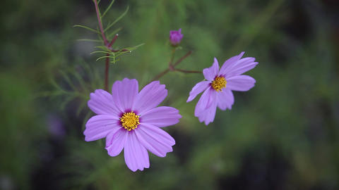 pink cosmos Stock Video Footage
