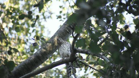 hawk in a tree Footage
