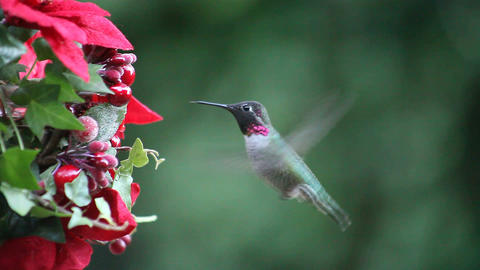 hummingbird at Christmas feeder Stock Video Footage