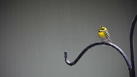 yellow bird in the rain Footage
