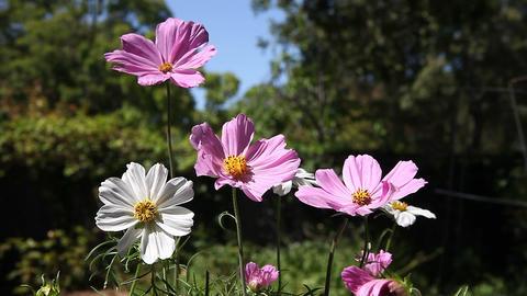 cosmos flowers in summer Footage