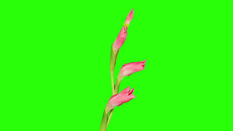 Blooming pink gladiolus flower buds green screen, Stock Video Footage