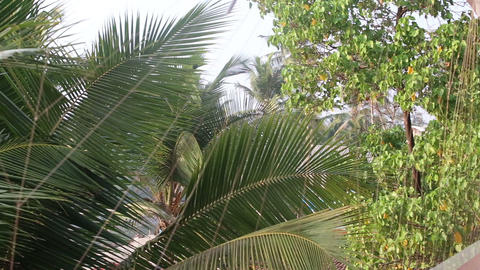 leaves of palm trees swaying in the wind Footage