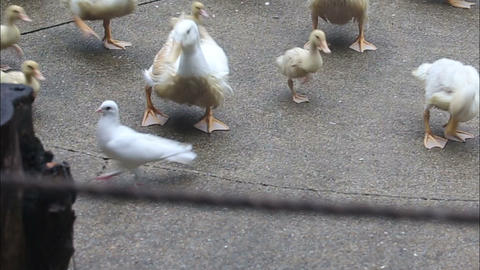 Duck Run And Search For Food On The Concrete stock footage