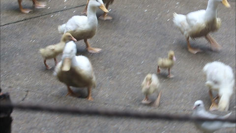 duck run and search for food on the concrete Stock Video Footage