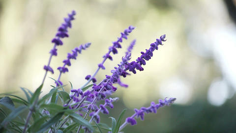 Mexican sage flowers Footage