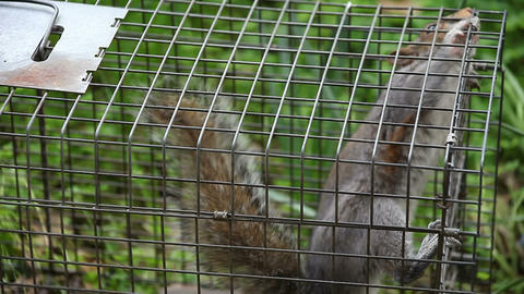 squirrel in a trap Stock Video Footage