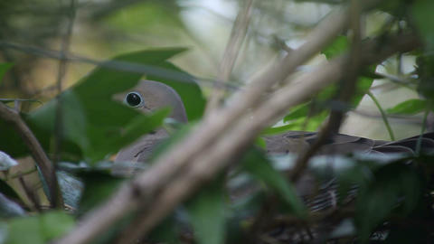 mourning dove on nest Footage